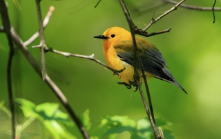 prothonotary-warbler-featured