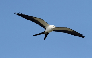 swallow-tailed-kite-featured