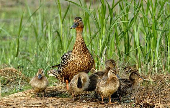 Black Duck with Ducklings