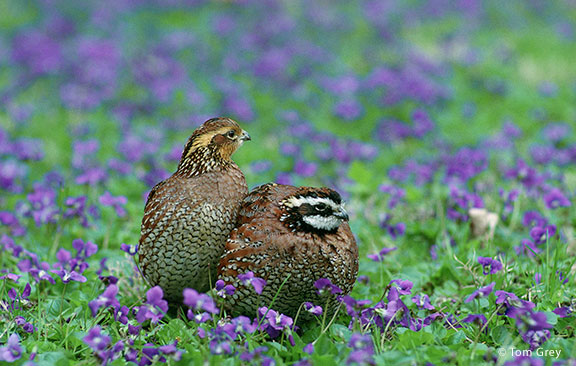 Northern Bobwhite - Tom Grey