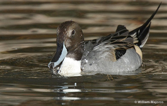 northern-pintail-william-majoros