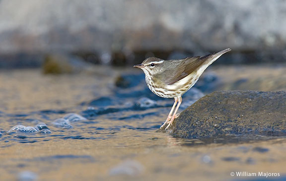 northern-waterthrush-william-majoros