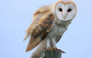 Barn Owls are thriving in South Carolina because of the efforts of a single employee. Photo courtesy of Steve Garvie/Creaive Commons