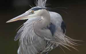 Great Blue Heron are just one of many species that benefit from the IWMM program. Photo courtesy of William Majoros