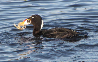 Surf Scoter with crab. Photo by Tim Bowman, USFWS