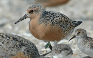 Red Knot. Greg Breese, USFWS