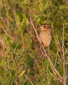 Salt Marsh Sparrow. Courtesy of Bill Hubick