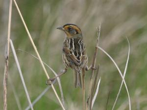 Saltmarsh Sparrow. Ed Sigda