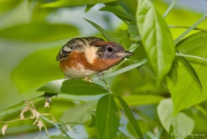 Bay-breasted Warbler. Courtesy of William Majoros
