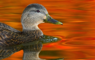 American Black Duck. Photo courtesy of William Majoros