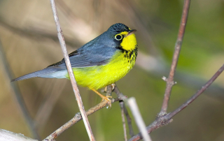 Canada Warbler. Photo courtesy of William Majoros
