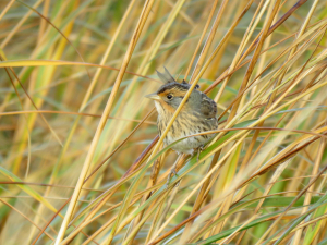 Saltmarsh Sparrow is the only endemic species in the Atlantic Coast Joint Venture. Photo by Brian Henderson