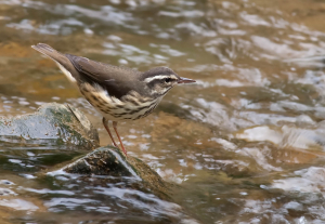 lousisana waterthrush kelly cogan azar