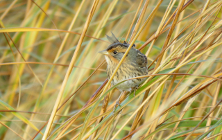 Saltmarsh Sparrow. Photo by Brian Henderson