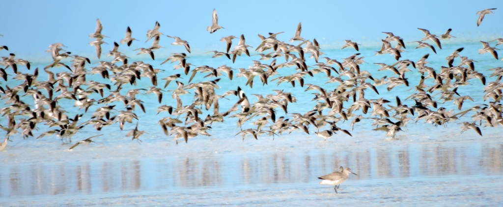 shorebirds tci craig-crop