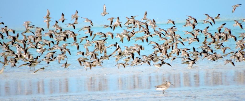 shorebirds tci craig-crop